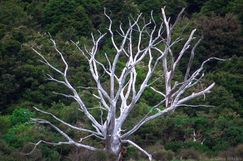 Dead tree at Abel Tasman track