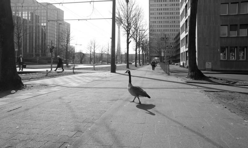 Düsseldorf Gans #4311