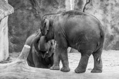 Elefanten #784