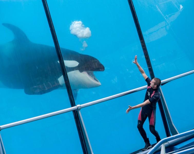 Orca mit Trainer im Marineland Antibes