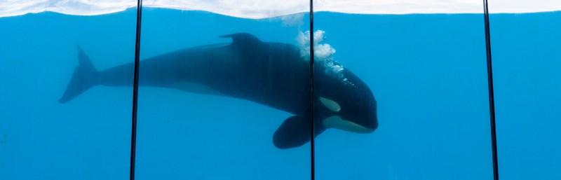 Orca im Marineland Antibes DSC_2767