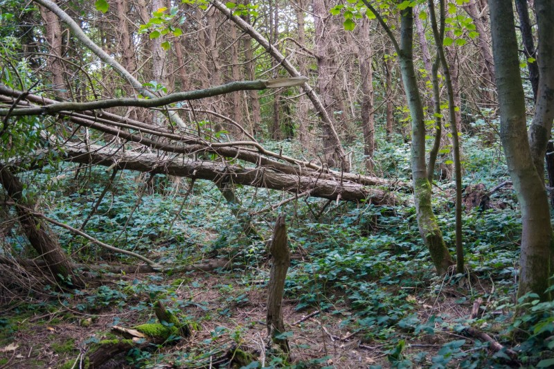 Wald auf Sylt