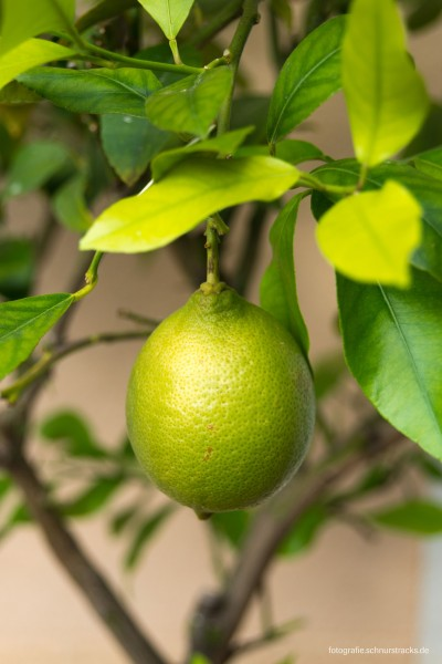 Grüne Zitrone in Marseille