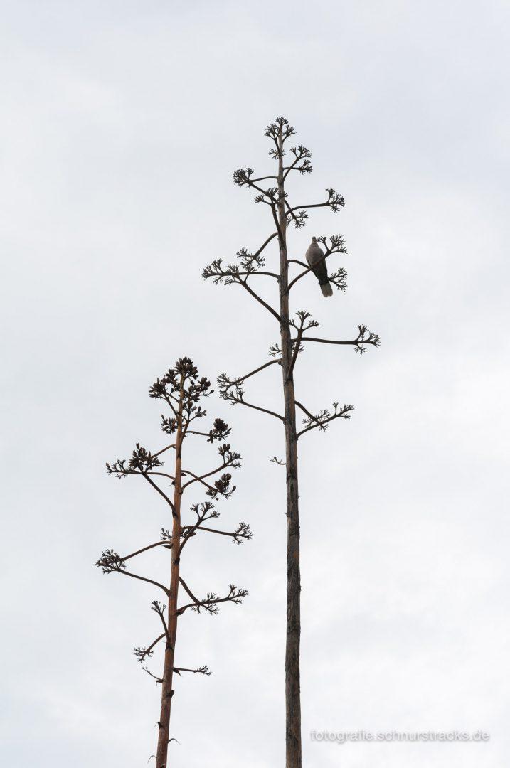 Agaven Blütenstand #1460