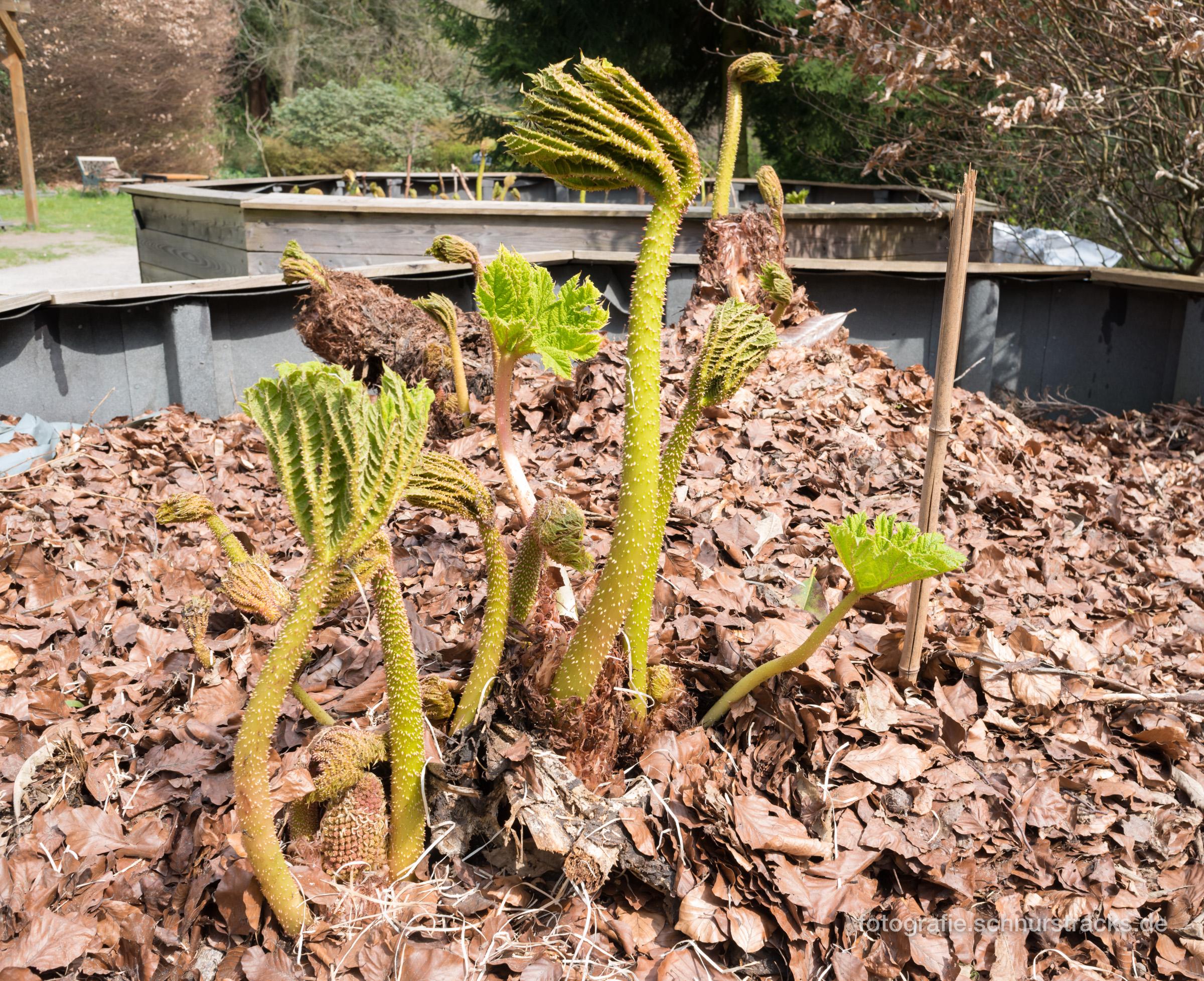 Mammutbaum Sequoiafarm Kaldenkirchen Arboretum